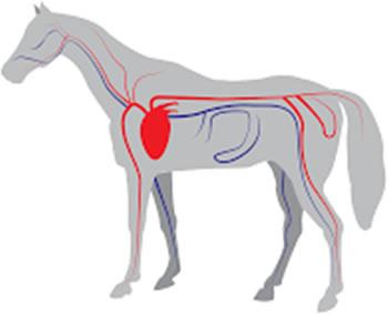 Srce konja
