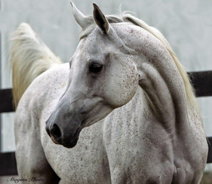 Arapski konj