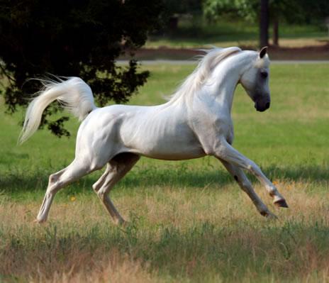 Arapski punokrvni konj