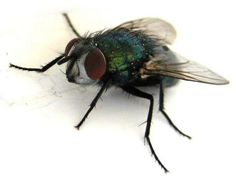 Insekti prenosioci IAK-a-