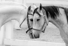 Kloniranje konja