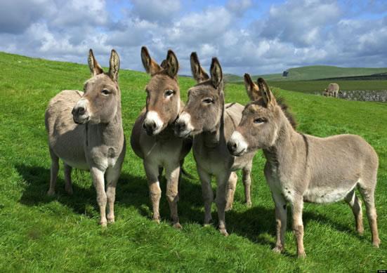 Porodica konja - Magarci