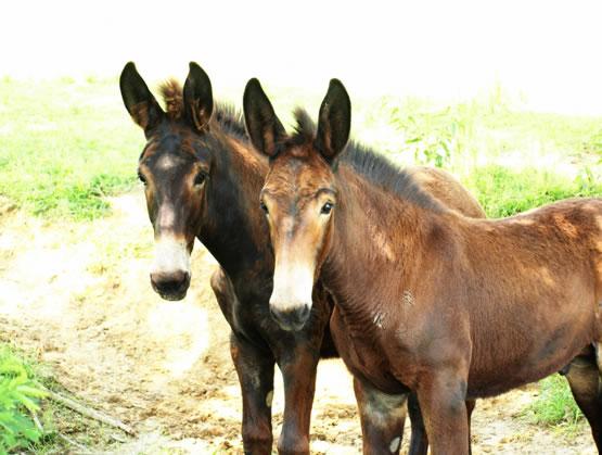 Porodica konja - Mule