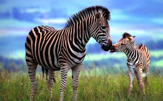 Porodica konja - Zebre