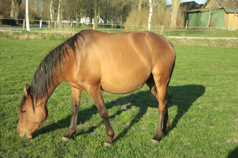 trudna gravidna kobila