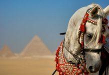 Krvne linije pustinjskih Arapskih konja