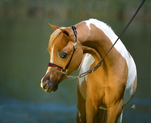 Minijaturni Arapski konj