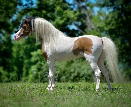 Minijaturni Kvarter konj