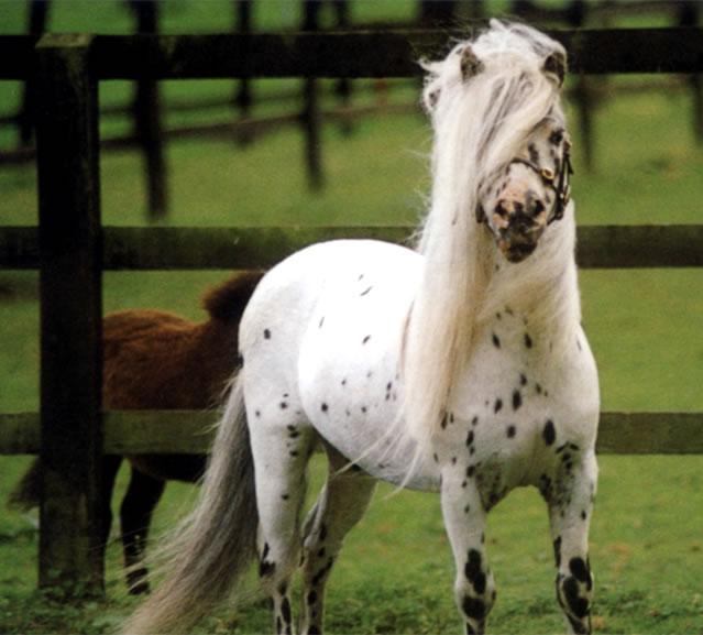 Minijaturni konj kod kuce-