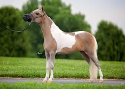 Minijaturni konji
