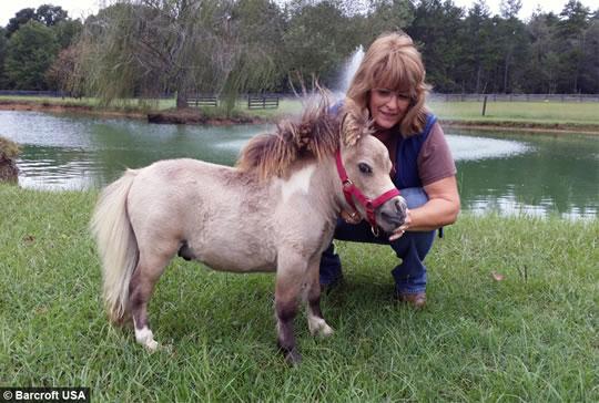 Mladi patuljasti konj